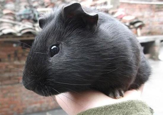 黑豚常见疾病及防治