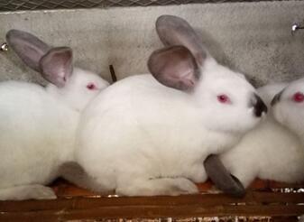 茗阳肉兔ballbet安卓版西甲赞助带您分析,养兔的前景发展究竟有多大