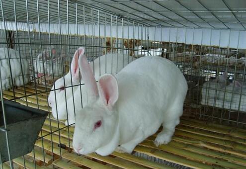ballbet安卓版西甲赞助好项目茗阳农业兔子ballbet安卓版西甲赞助:兔子的科学ballbet安卓版西甲赞助方法