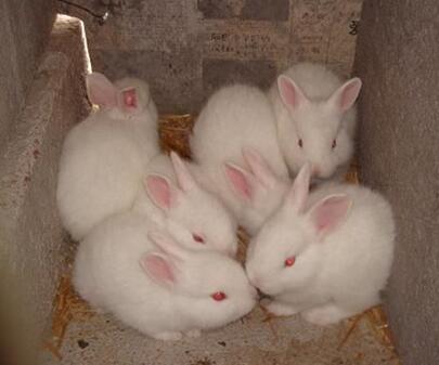 茗阳科学ballbet安卓版西甲赞助肉兔提高产量