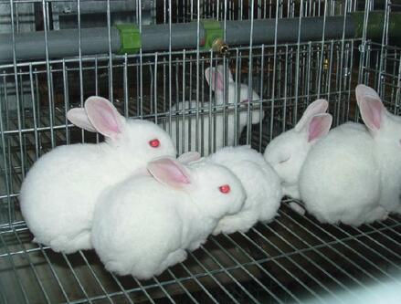 茗阳农业肉兔ballbet安卓版西甲赞助分享肉兔的综合喂养