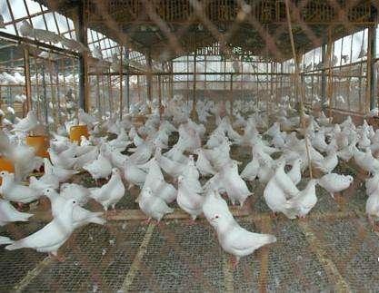 鸽子ballbet安卓版西甲赞助建议,养鸽子还得依靠茗阳企业