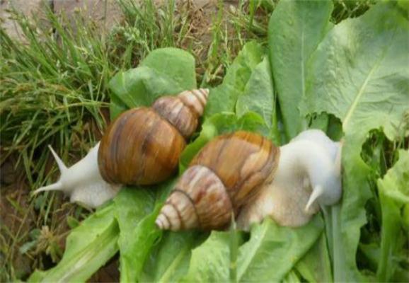 白玉蜗牛的ballbet安卓版西甲赞助生活习性!